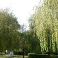 willow trees bellyflop tv