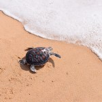 Baby Sea Turtle Release - Source: Yaipearn. Phang Nga, Thailand: Release Baby Sea Turtle to Sea by a Volunteer. Digital Image. [Source Unknown], October 18, 2014