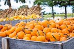 Fall festivals, farms and orchards in and around Washington, DC