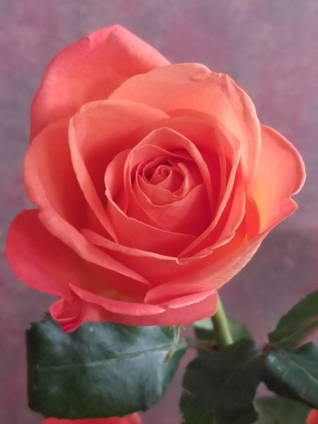 2019 A Year Of Possibilities - photo of coral rose by Belynda Wilson Thomas