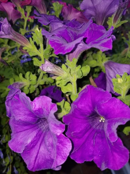 Courage to love - Purple petunias photo by Belynda Wilson Thomas
