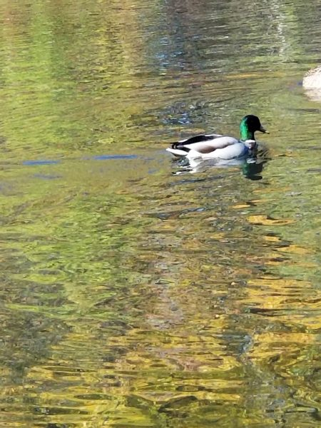 Mission Statement - photo of Mallard Duck by Belynda Wilson Thomas