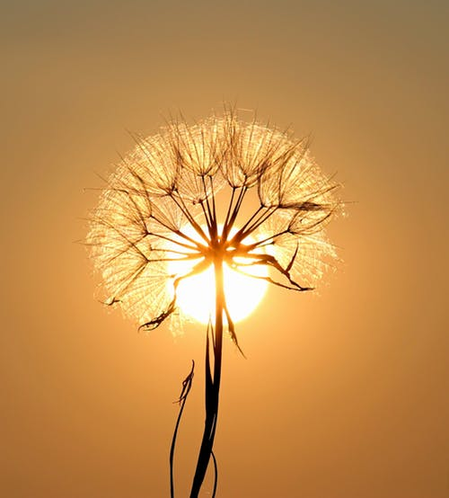 Stock photo of Dandelion seed head.