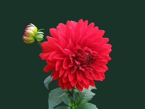 Are we taking things for granted? Photo of red Dahlia