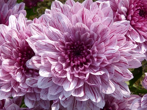 Purple pink Chrysanthemum stock photo