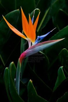 """Having"" Bird of Paradise."