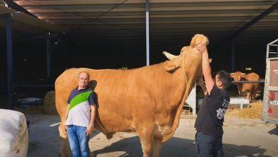 Photo of «Goliat», el buey que pesa más de 2.000 kilos y roza los dos metros de altura
