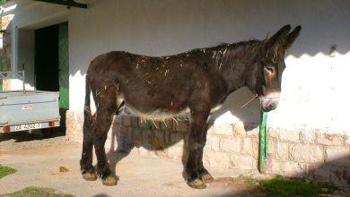 Photo of Castilla y León destina un millón de euros a fomentar la cría de razas autóctonas