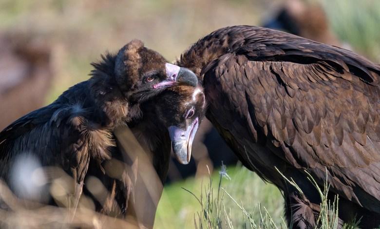 Photo of El buitre negro vuelve a criar en el Sistema Ibérico tras más de medio siglo extinguido