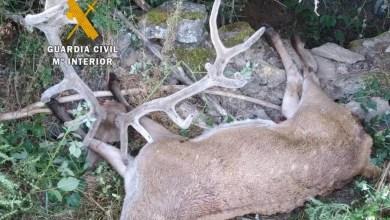 Photo of La Guardia Civil investiga a una persona como supuesto autor de la caza ilegal de un ciervo