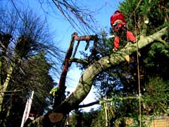 Tree Surgeon working with chainsaw while in climbing harness.