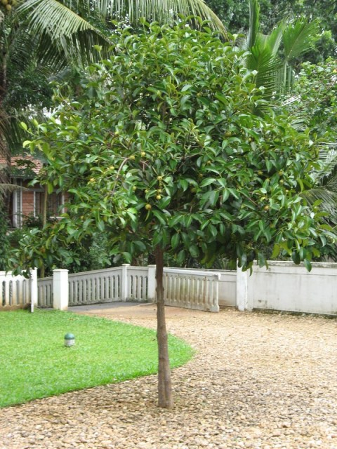 How To Grow It And How To Use It For: How To Grow A Healthy Mangosteen Tree From Seeds