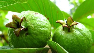 benefits-of-eating-guava