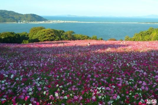 Champs de cosmos au Nokonoshima Island Park, Fukuoka