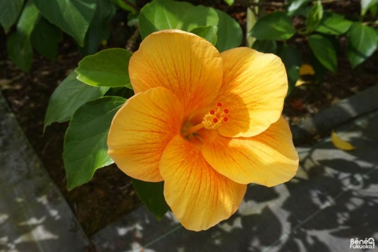 Hibiscus orange, Utopia Farm, Miyakojima
