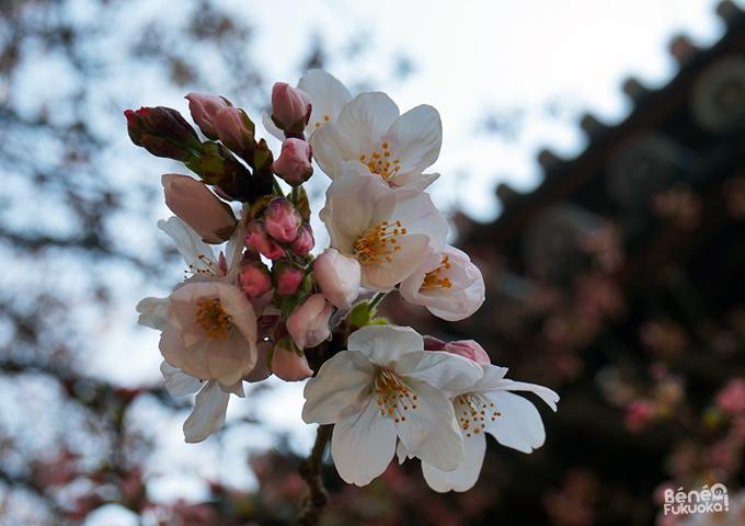 Cerisiers au temple Tôchô-ji, Fukuoka
