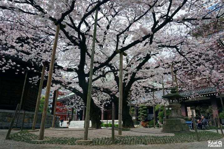 Le grand cerisier du temple Tôchô-ji, Fukuoka