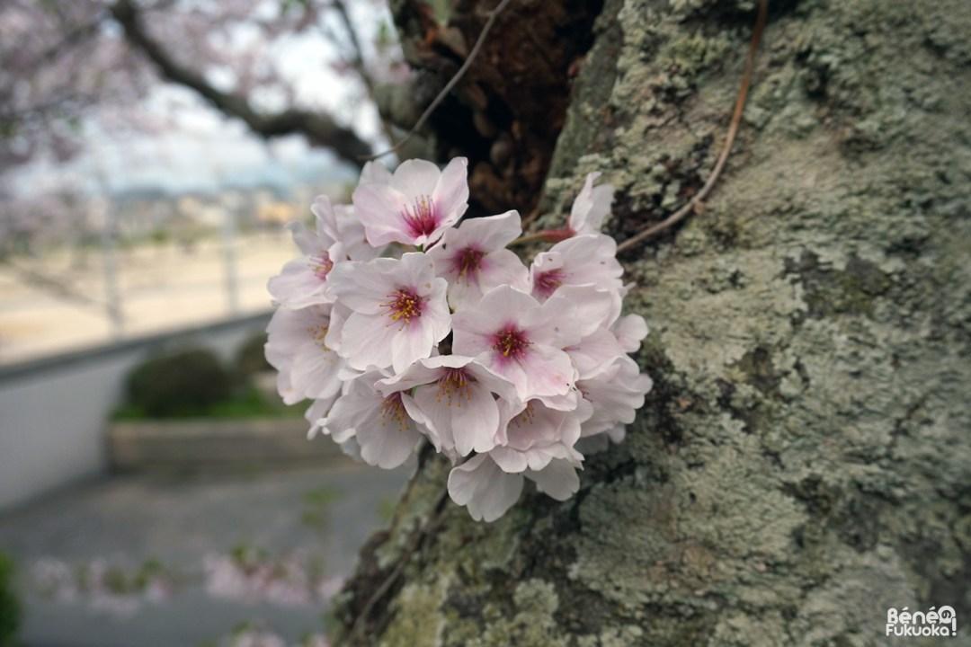 Sakura, Fukuyoshi