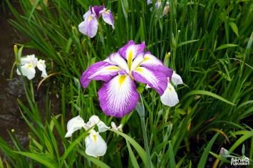 Festival des iris, Fukuoka