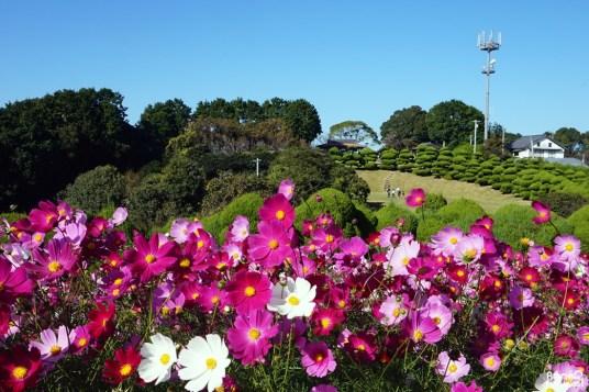 Champs de cosmos à Nokonoshima, Fukuoka