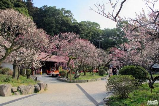 Pruniers en fleur à Dazaifu, Fukuoka