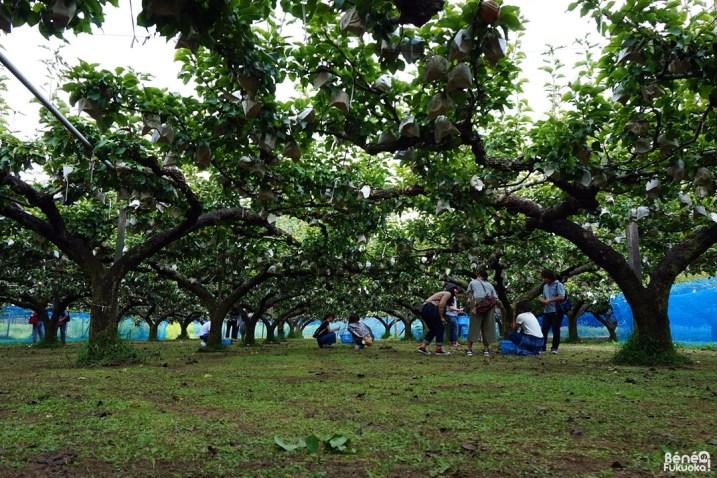 Fruit picking, Ukiha, Fukuoka