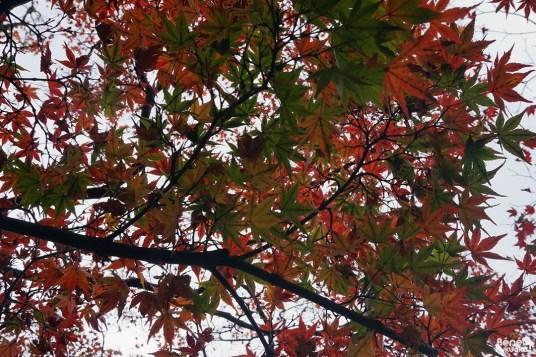 Feuilles d'érables rouges (momiji)