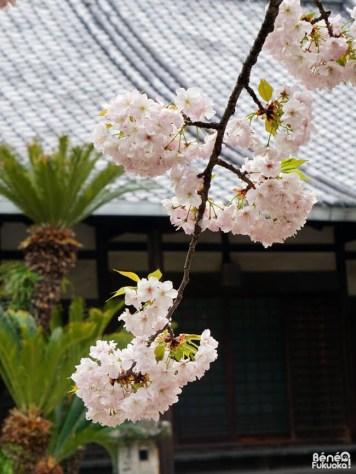 Cerisier au temple Junshin-ji, Fukuoka
