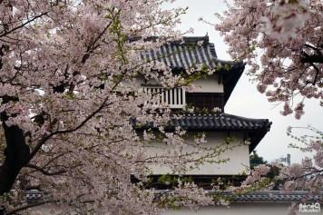 Cerisiers au château de Fukuoka, Fukuoka