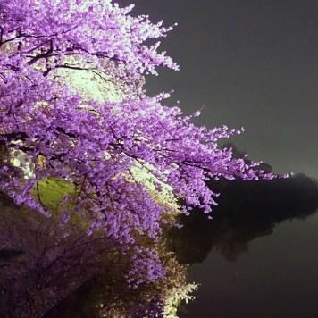 Le festival des fleurs de cerisier du château de Fukuoka