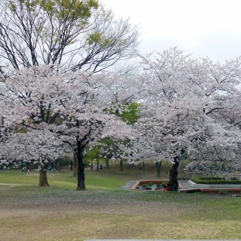 Cerisiers en fleur, jardin botanique municipal de Fukuoka