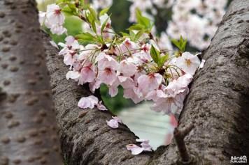 Cerisiers au temple Termo, Fukuoka