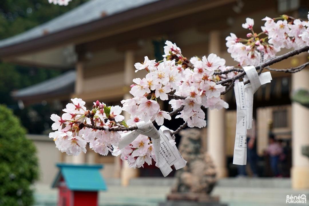 Les cerisiers au sanctuaire Terumo, Fukuoka