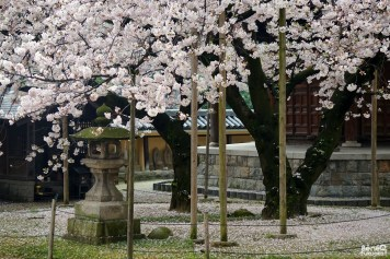 Les cerisiers au temple Tôchô-ji, Fukuoka
