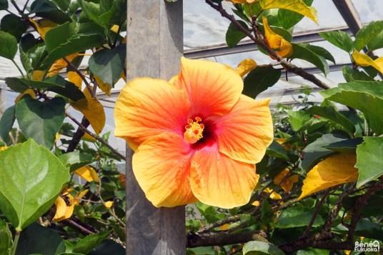 Hibiscus, Utopia Farm, Miyakojima, Okinawa