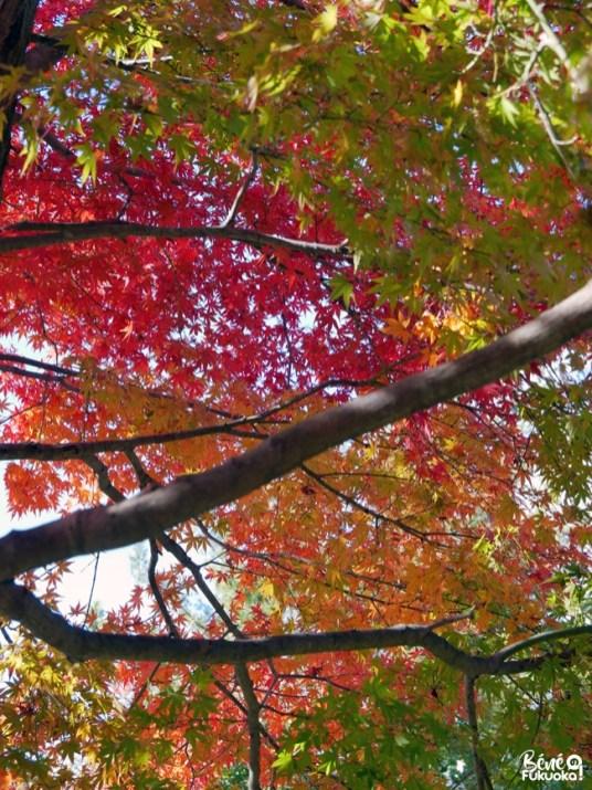 Erables rouges à Dazaifu