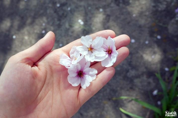 Fleurs de cerisier à Itoshima, préfecture de Fukuoka