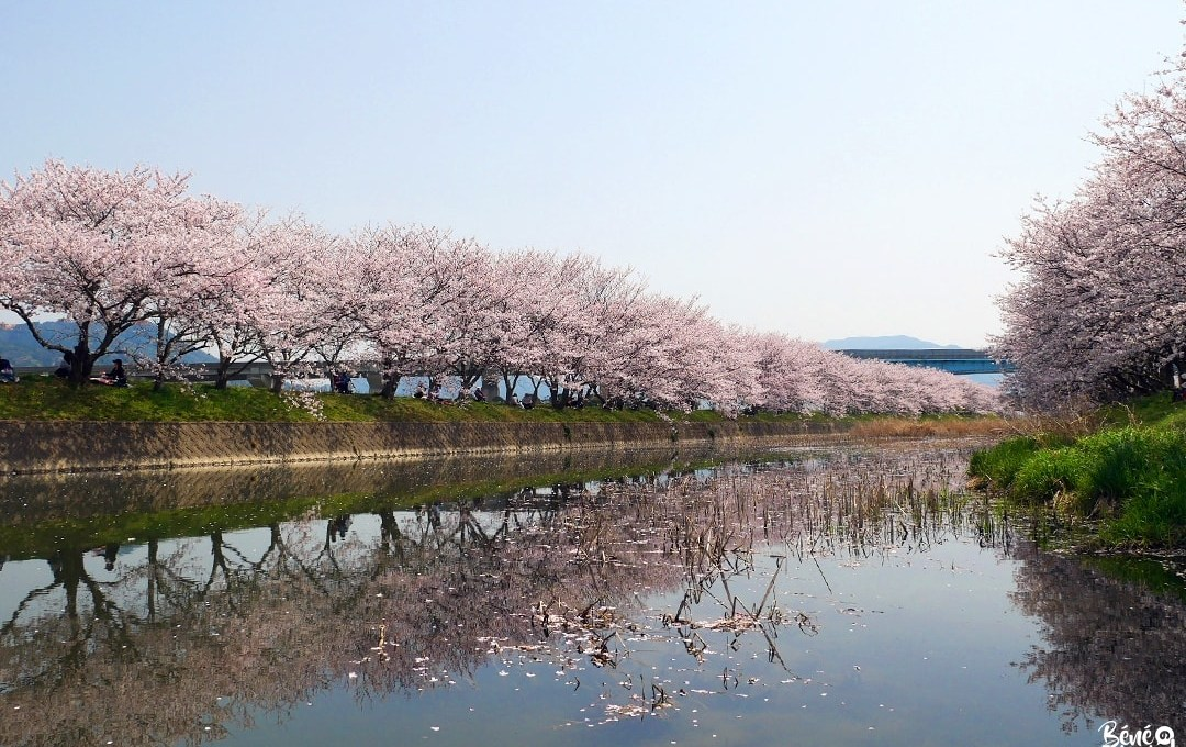 Samedi hanami : les fleurs des cerisiers d'Itoshima
