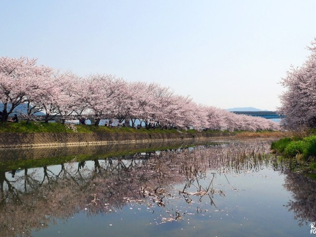 Hanami et cerisiers à Itoshima