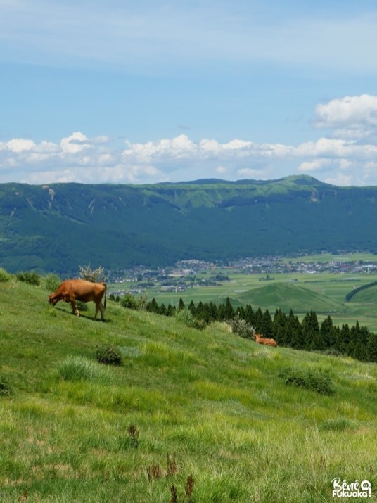 Panorama sur la caldeira du mont Aso et vaches rousses, Kumamoto