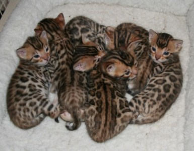 Do these bengal cats look like animals that will hurt you?