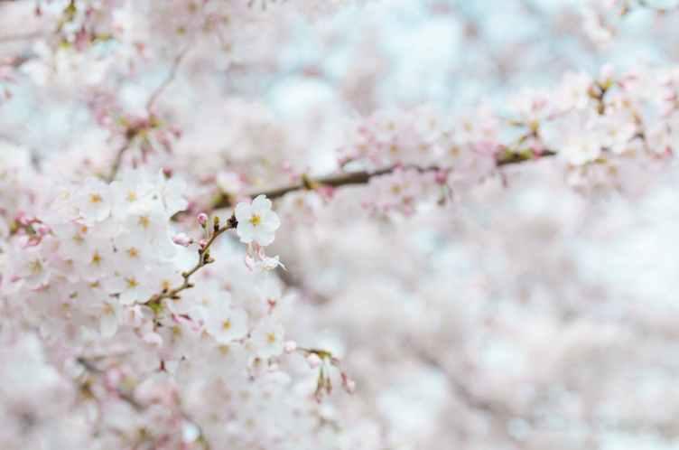 Sakura 2.jpeg