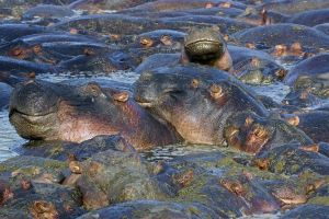 ABN-Benny-Rebel-Fotoreise-Suedafrika--Flusspferd