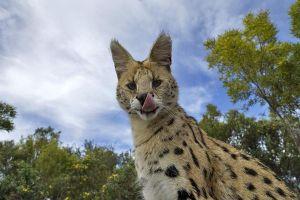 ACJ-Benny-Rebel-Fotoreise-Serval-Suedafrika