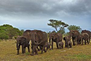 ADB-Benny-Rebel-Fotoreise-Tansania-Elefant