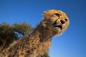 AGE-Benny-Rebel-Fotoreise-Suedafrika-Gepard