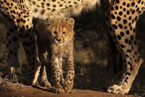 AGF-Benny-Rebel-Fotoreise-Suedafrika-Gepard