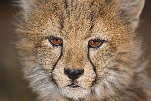 AHV-Benny-Rebel-Fotoreise-Suedafrika-Gepard