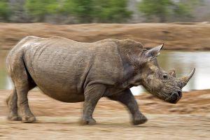 AJb-Benny-Rebel-Fotoreise-Swaziland-Breitmaul-Nashorn