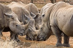 AJd-Benny-Rebel-Fotoreise-Swaziland-Breitmaul-Nashorn